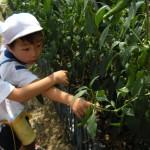 万願寺とうがらし収穫3