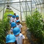 万願寺とうがらし収穫2