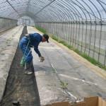 メロン苗植え1