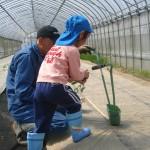 メロン苗植え2