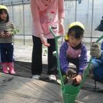 メロン苗植え3
