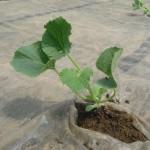 メロン苗植え4