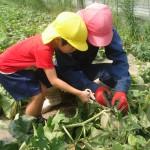 メロンの収穫3