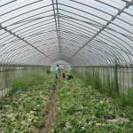 メロンの収穫2