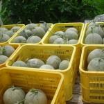 メロンの収穫7