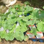 メロンの苗植え2