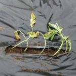 さつま芋の苗植え4