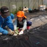 メロンの苗植え3