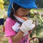 苗の根元からはほんのりとさつま芋の匂いがしました。