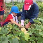 農家の方と協力してメロンを収穫しています。