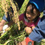 農家の椋本さんと一緒に稲を刈りました。