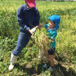 刈り終わった稲は、束にして運びました。