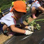 掘ったところに苗を植え土をかぶせています。