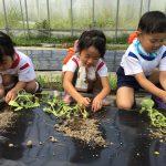 きりん組は、去年の経験もあり丁寧に苗を植えていました。